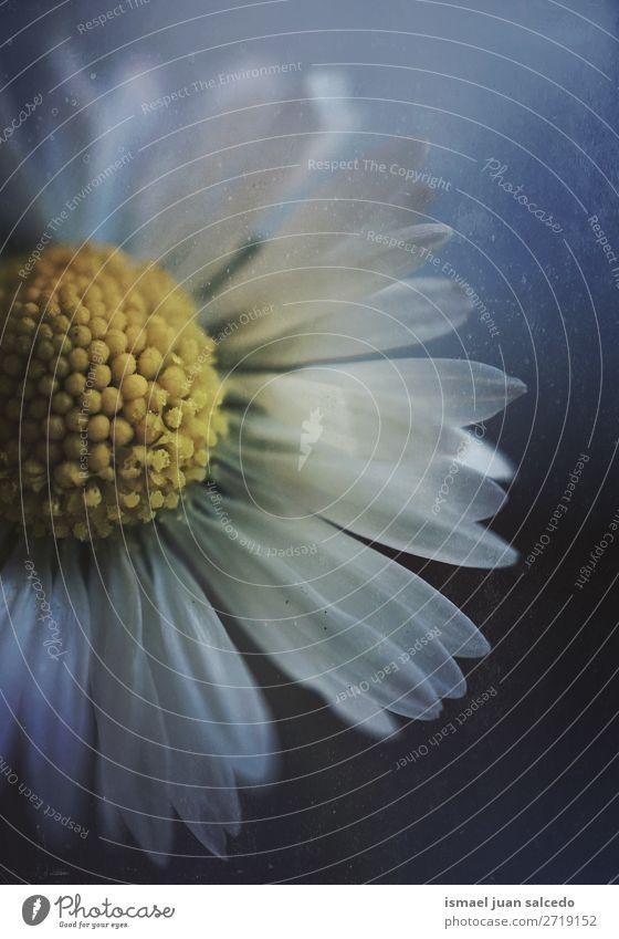 weiße Gänseblümchenblume Blume Blütenblatt Pflanze Garten geblümt Natur Dekoration & Verzierung romantisch Beautyfotografie Zerbrechlichkeit Hintergrund