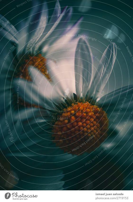 schöne Gänseblümchenblume im Garten Blume weiß Blütenblatt Pflanze geblümt Natur Dekoration & Verzierung romantisch Beautyfotografie Zerbrechlichkeit