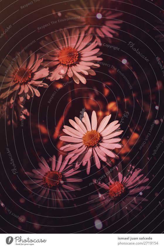 schöne Gänseblümchen im Garten Blume weiß Blütenblatt Pflanze geblümt Natur Dekoration & Verzierung romantisch Beautyfotografie Zerbrechlichkeit Hintergrund
