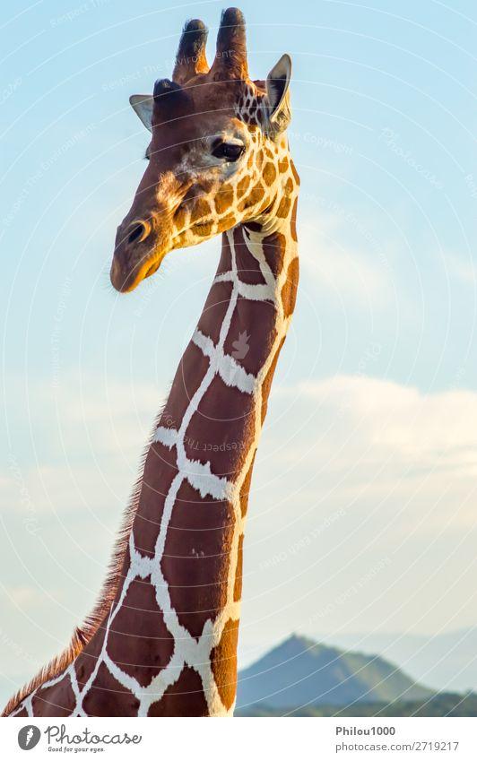 Hals und Kopf einer Giraffe in der Nähe eines grünen Baumes schön Gesicht Safari Mund Natur Tier lang niedlich wild braun weiß Samburu Afrika Afrikanisch