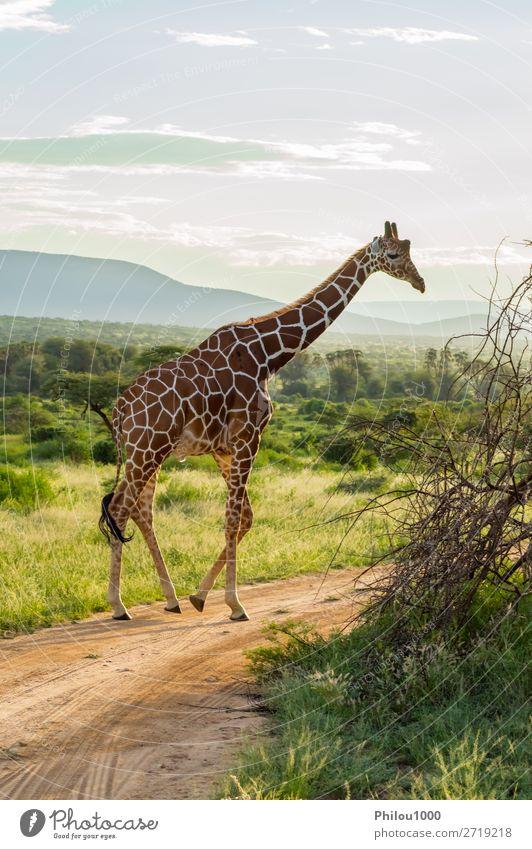 Giraffe überquert den Pfad im Samburu Park schön Gesicht Safari Mund Natur Tier lang niedlich wild braun grün weiß Afrika Afrikanisch Hintergrund Kopf
