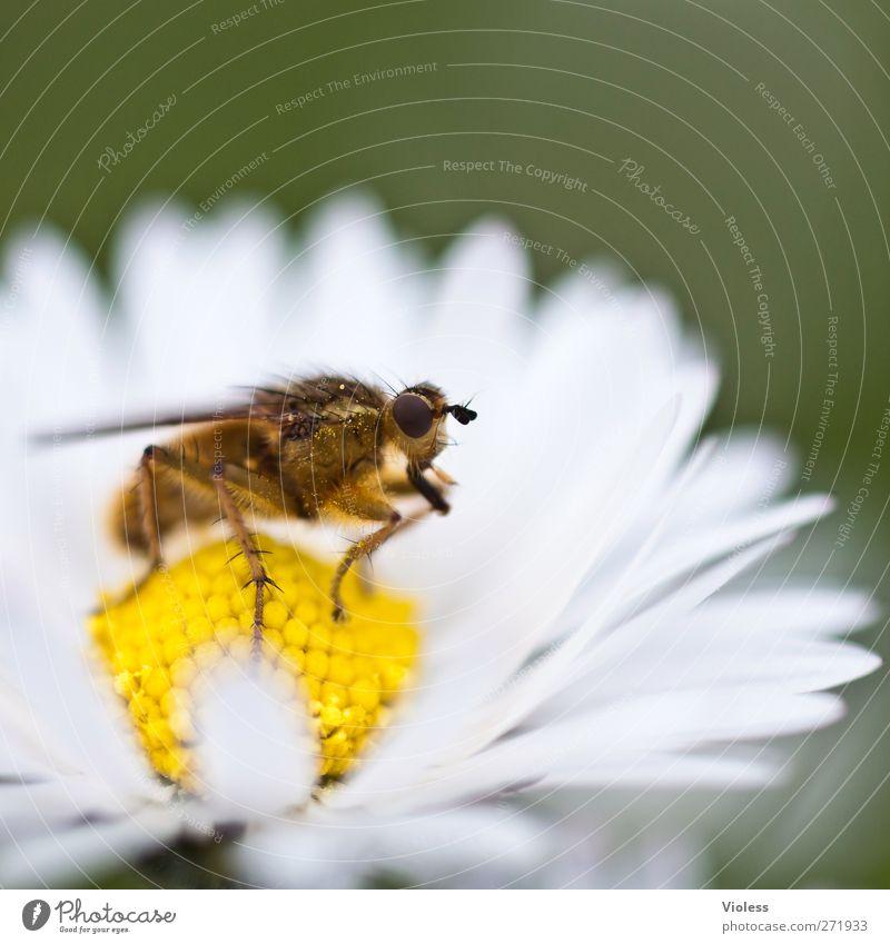 Hiddensee | auch ein schönes plätzchen Tier Blüte Fliege nah Gänseblümchen