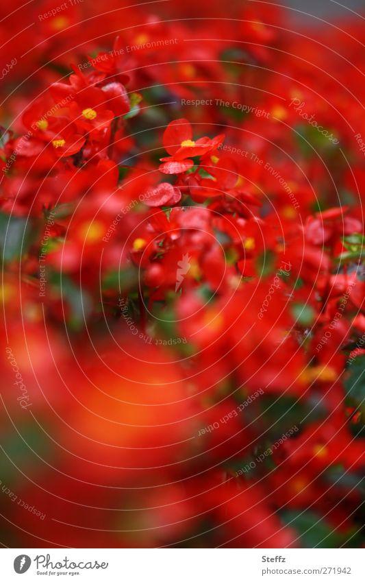 Begonien natürlich rot Semperflorens knallig rote Blumen Topfpflanze prächtig wachs begonie wax begonia Stauden Balkonpflanze dekorativ Blühend nah