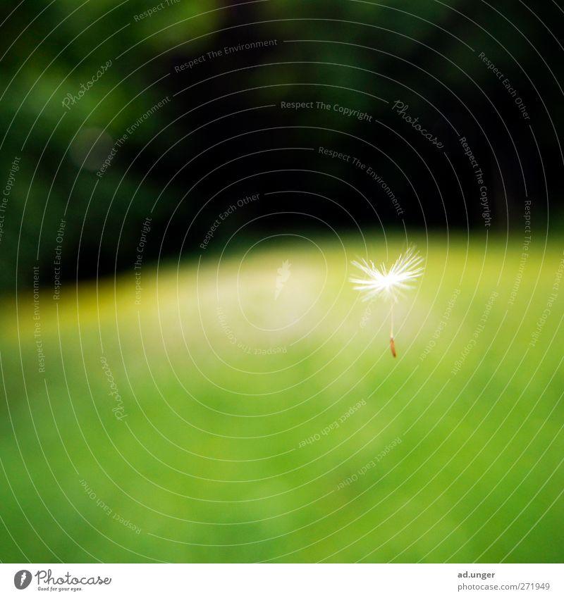 Schirmflieger. Natur Pflanze Sommer Park fliegen wandern frei Blühend Löwenzahn Samen Grünpflanze Wildpflanze Haarflieger Pappus
