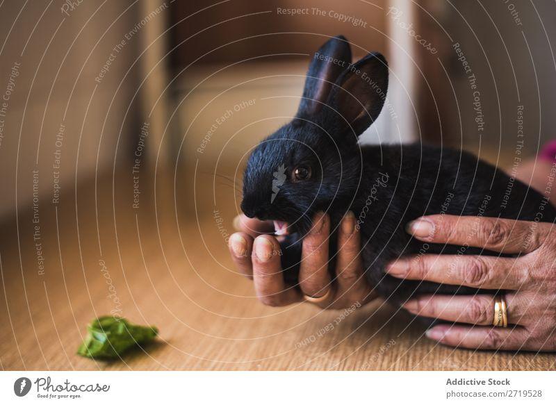 Hände halten das süße schwarze Häschen. Hase & Kaninchen niedlich Tier Hand Pelzmantel