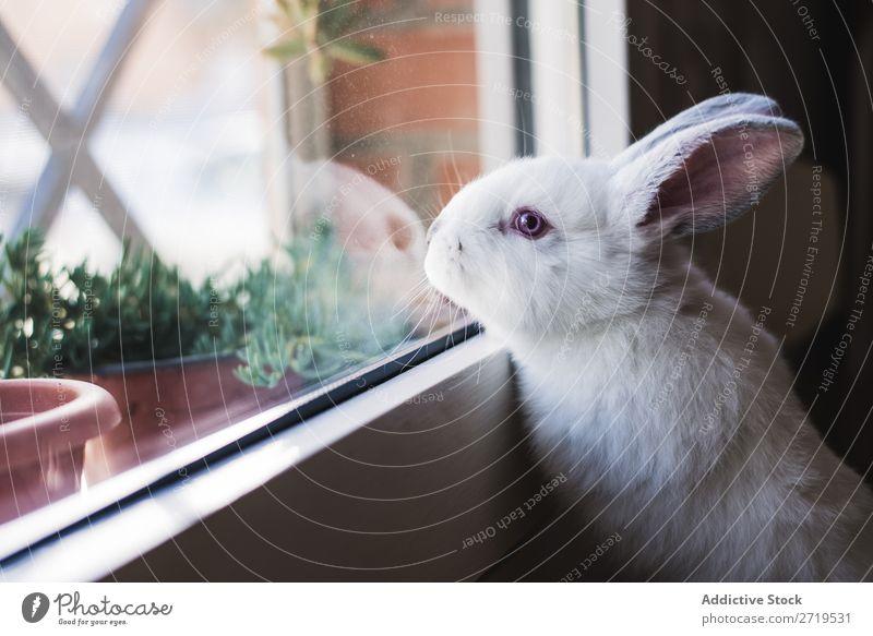 Weißer kleiner Hase mit Blick auf das Fenster Hase & Kaninchen niedlich anlehnen reizvoll Tier