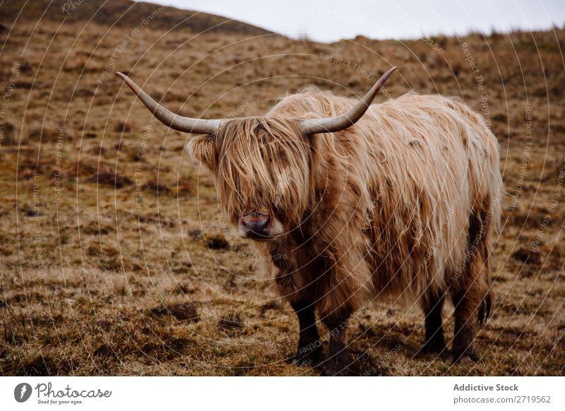 Hochlandrinderkuh auf trockenem Gras Kuh Wolken züchten Schottisches Hochlandrind haarig flockig Vieh Weide Wiese regenarm Natur Landschaft Feld natürlich