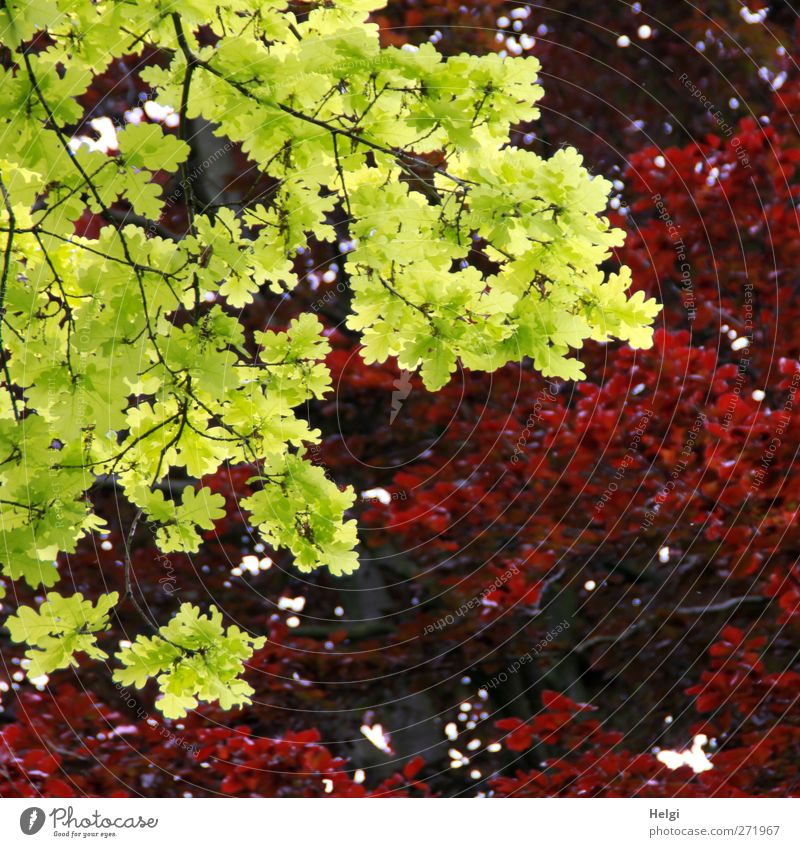 Kontraste... Natur Pflanze Frühling Schönes Wetter Blatt Eiche Eichenblatt Ast Rotbuche Rotbuchenblatt Park leuchten Wachstum authentisch außergewöhnlich