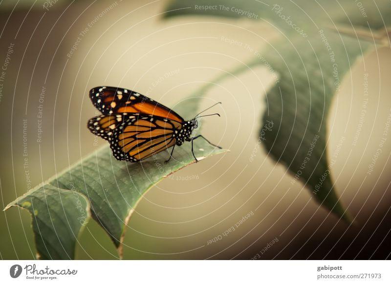 angefressen Natur grün schön Pflanze Tier ruhig braun orange Zufriedenheit sitzen natürlich ästhetisch Flügel einzigartig Schmetterling Duft