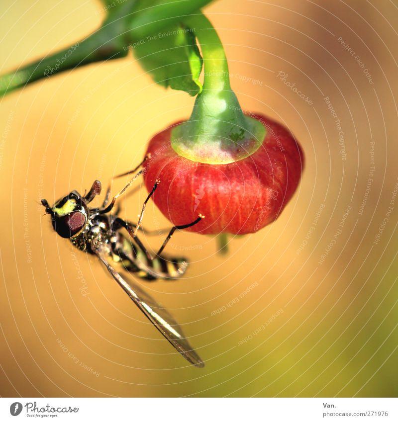 angedockt II Natur Tier Frühling Pflanze Blatt Beeren Stengel Garten Wildtier Biene Flügel Insekt 1 hell Wärme gelb rot Farbfoto mehrfarbig Außenaufnahme