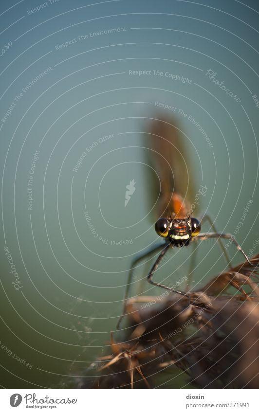 I looked at you Natur Pflanze Tier Umwelt klein Wildtier sitzen natürlich Flügel Pause Neugier Tiergesicht Insekt Schilfrohr leicht filigran