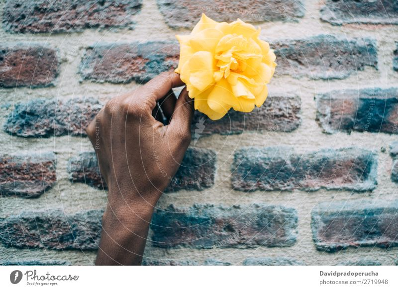 Frauenhände halten eine gelbe Rosenblume. Blume Natur Feste & Feiern Konsistenz Geschenk urwüchsig Halt Hintergrundbild Fürsorge Liebe Nahaufnahme Blütenblatt