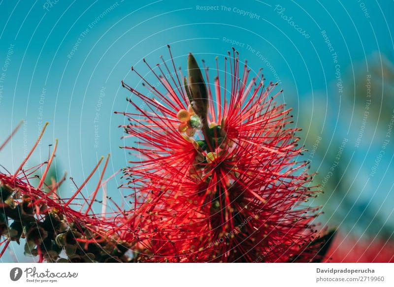 Nahaufnahme einer Flaschenbürstenblüte Zylinderputzer Pflanze Blume Baum Konsistenz Hintergrundbild abstrakt Textfreiraum Tapete Natur Farbe Sträucher rot