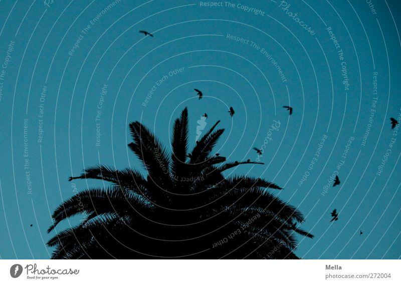 888 - Schlafplatz suchen Umwelt Natur Pflanze Tier Luft Baum Blatt Palme Palmenwedel Wildtier Vogel Star Tiergruppe Schwarm Bewegung fliegen dunkel klein