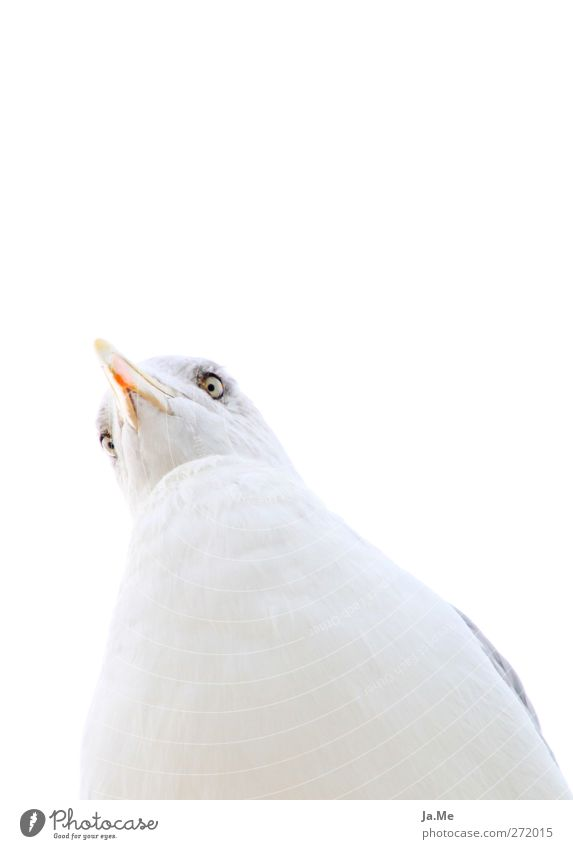 Ich habe dich genau im Blick! weiß Tier Vogel Wildtier Tiergesicht Möwe Heringsmöwe
