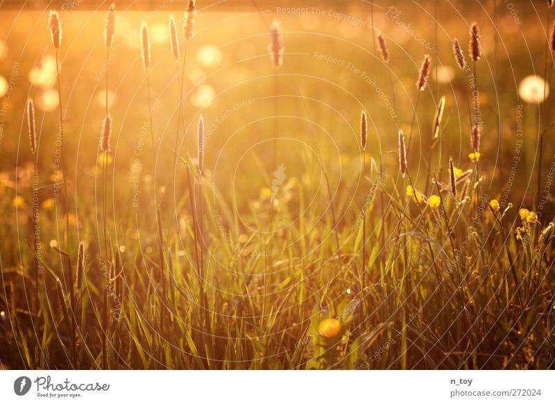 uncut Umwelt Natur Landschaft Sonne Frühling Schönes Wetter Gras Wiese Blühend Duft Wärme gelb gold grün orange rot Stimmung Idylle ruhig Farbfoto Außenaufnahme