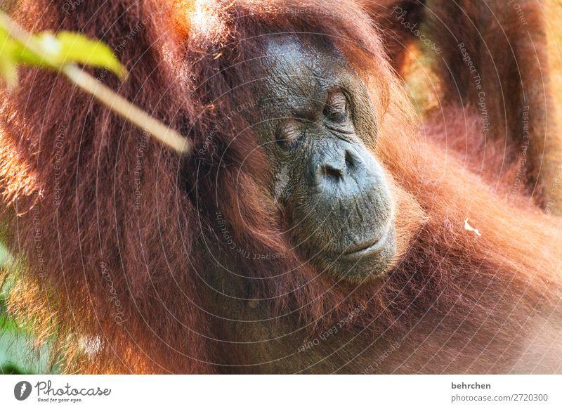 montagsmüde Ferien & Urlaub & Reisen Tourismus Ausflug Abenteuer Ferne Freiheit Natur Urwald Wildtier Tiergesicht Fell Orang-Utan 1 außergewöhnlich exotisch