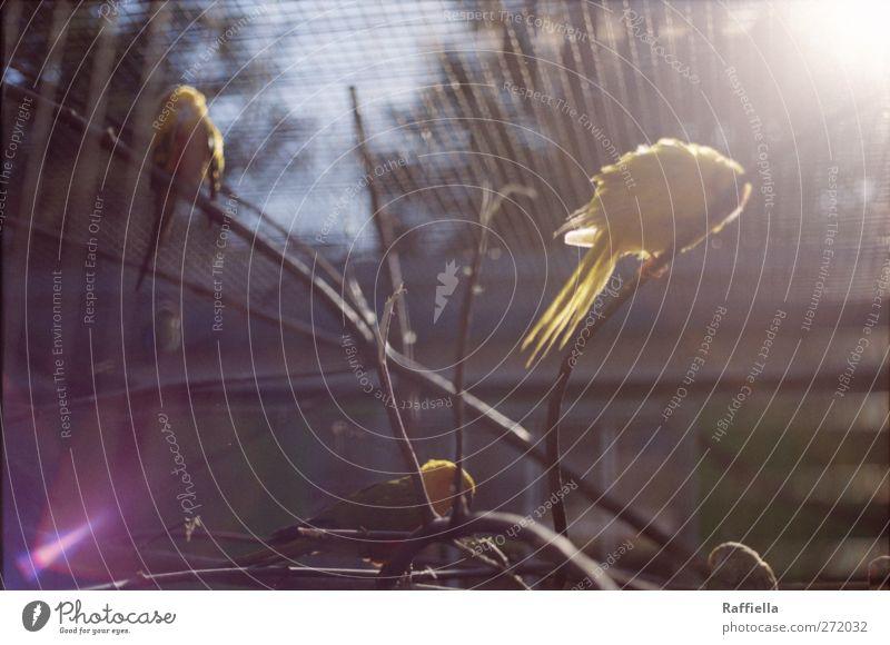 Morgensonne Himmel Baum Pflanze gelb Vogel leuchten Tiergruppe Flügel Sträucher Ast Zoo Schwarm Geäst Käfig scheinend Kanarienvogel