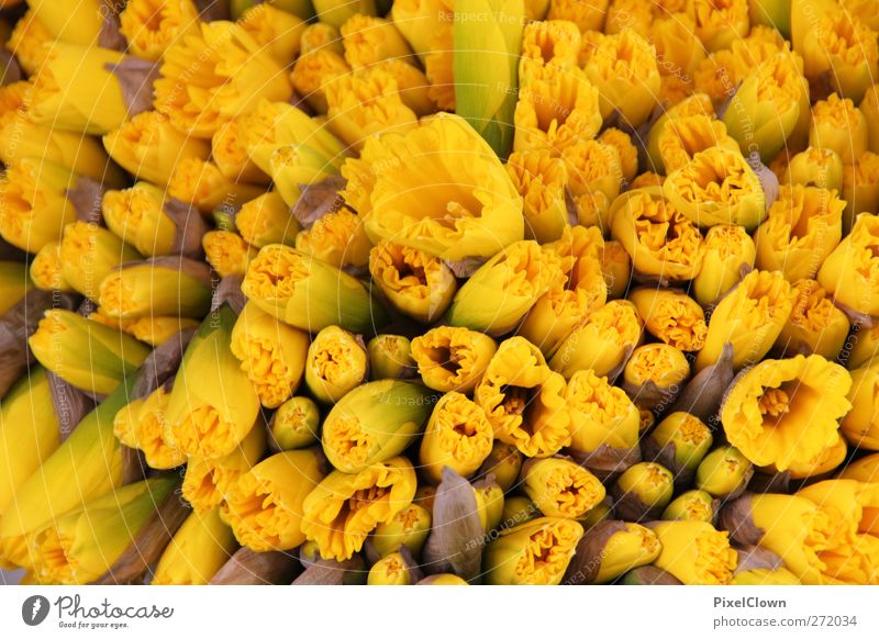 Narzissen Pflanze Blume Farbe gelb Garten Tulpe