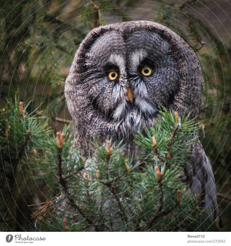 Chouette! Tier Wildtier Vogel Tiergesicht 1 beobachten sitzen gruselig rund trist braun grün Feder Blick Versteck Traurigkeit Farbfoto Außenaufnahme Nahaufnahme