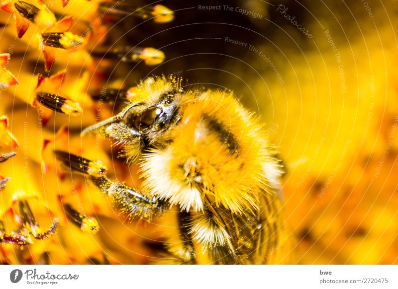 Bumblebee on flower Umwelt Natur Pflanze Tier Blüte insect 1 gelb orange Tierliebe Erfolg animal themes Animals in the Wild one animal close-up pollination