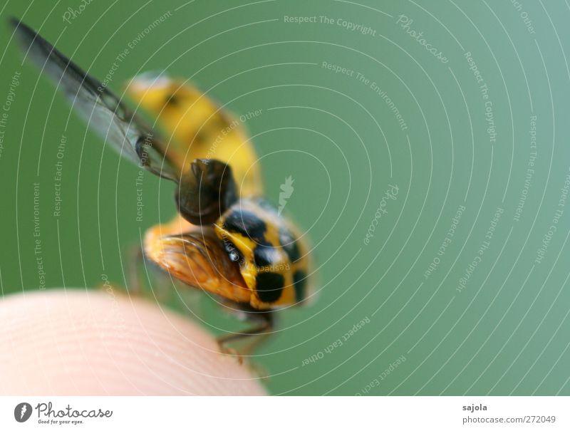 startbereit Tier Wildtier Insekt Marienkäfer 1 Vorfreude Abheben Flügel Farbfoto Außenaufnahme Nahaufnahme Detailaufnahme Makroaufnahme Menschenleer
