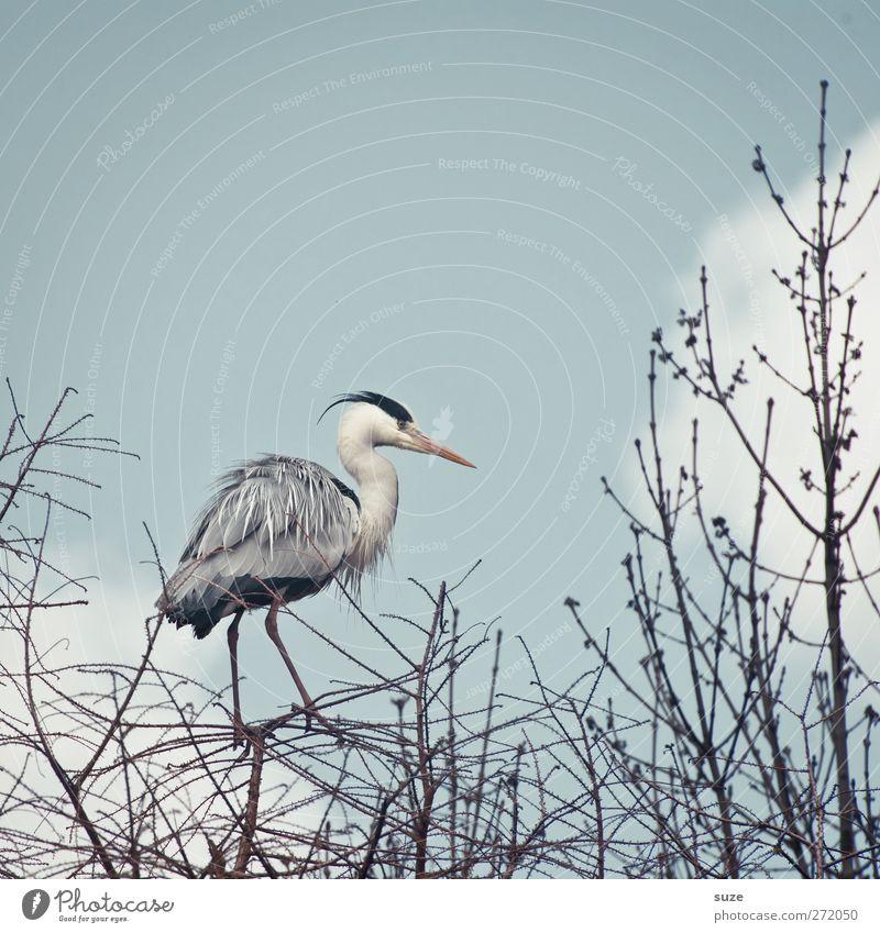 Reihern aus'm Stand Umwelt Natur Tier Urelemente Luft Himmel Wolken Frühling Schönes Wetter Wildtier Vogel 1 stehen dünn hell schön natürlich grau Ast Zweig