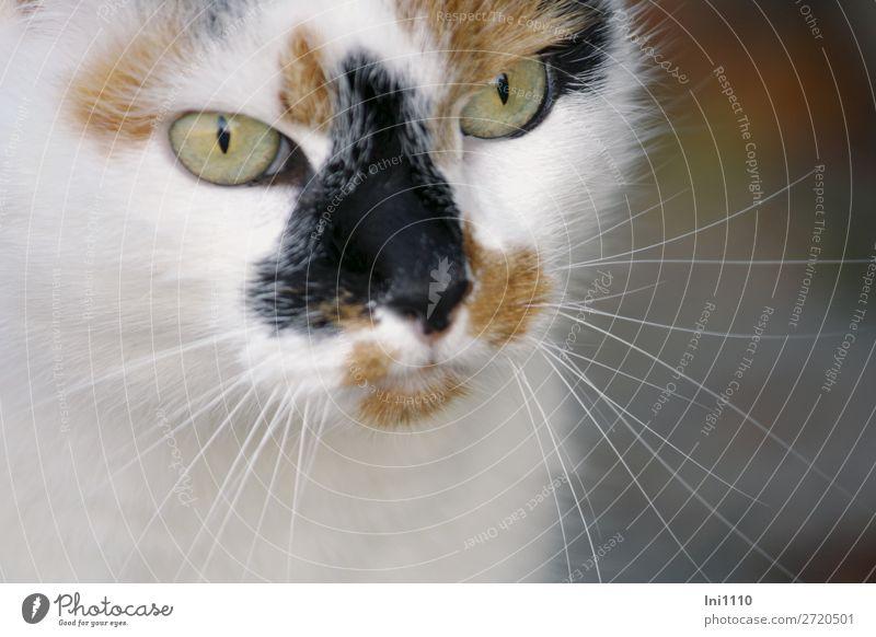 Katze Miezi Haustier Tiergesicht Fell 1 braun grau grün schwarz weiß Schnurrhaar dreifarbig Glück Wachsamkeit fixieren Katzenauge Katzenkopf Katzenfreund