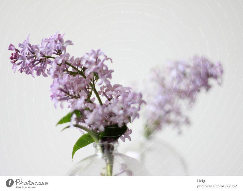 Frühlingsblüten... Pflanze Blume Blatt Blüte Fliederbusch Rispenblüte Vase Glas Blühend Duft Häusliches Leben ästhetisch einfach schön grün violett weiß