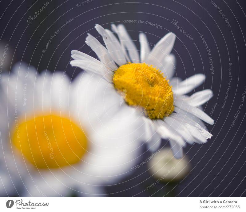 dog daisies Natur Pflanze Frühling Blume Blüte Wildpflanze Margerite Garten Wiese Freundlichkeit Fröhlichkeit frisch natürlich wild gelb weiß Farbfoto
