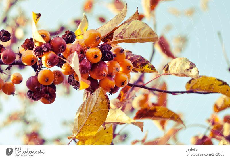 es herbstet sehr... Natur Pflanze Himmel (Jenseits) Blume Umwelt Herbst Frucht gold Ast verfaulen Zweig Apfel hängen Herbstlaub reif Blauer Himmel
