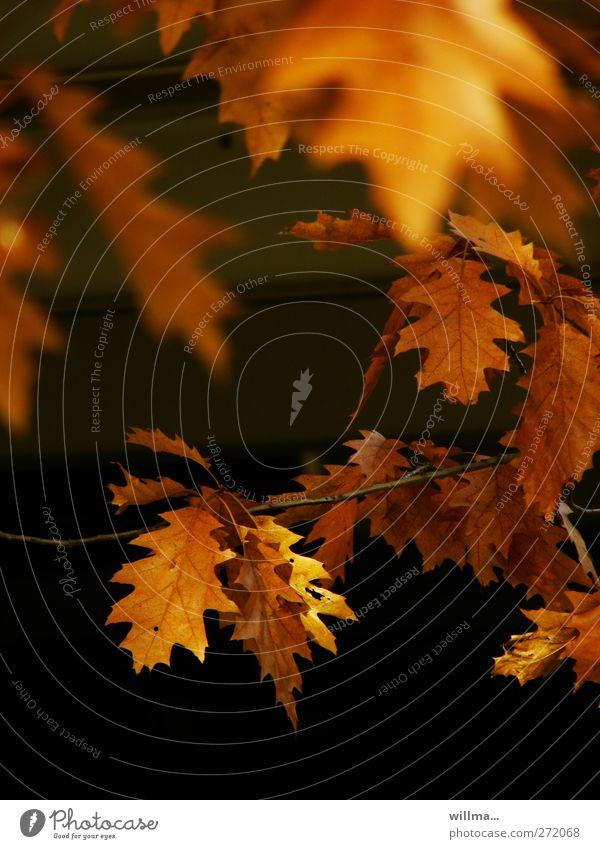 ich glaub ich hab den frühling verpasst Natur Pflanze Herbst Blatt Zweig Eichenblatt Roteiche braun orange schwarz Herbstlaub herbstlich Farbfoto Außenaufnahme
