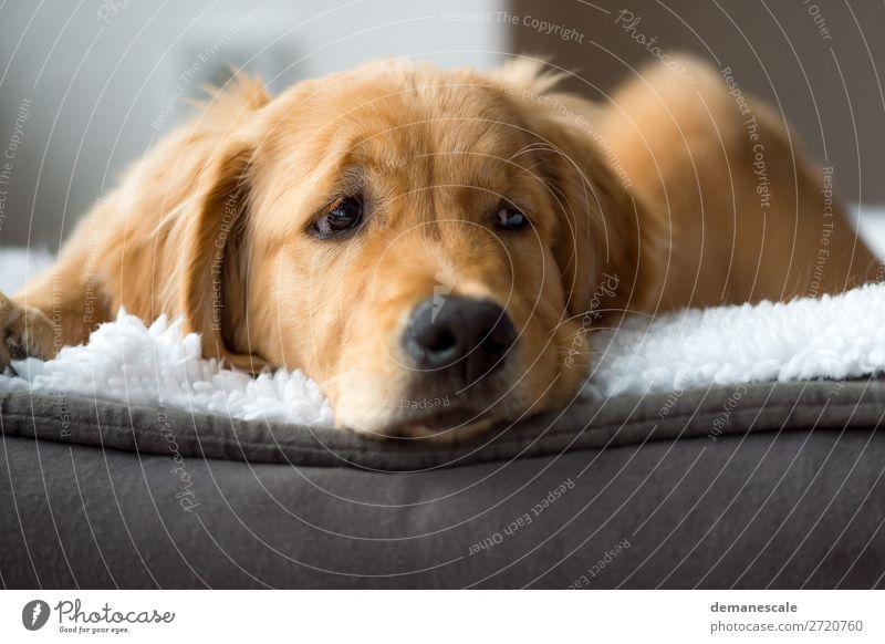 Kleiner Faulenzer harmonisch Zufriedenheit Erholung ruhig Häusliches Leben Raum Tier Haustier Hund Tiergesicht Fell Golden Retriever 1 Kissen Decke beobachten