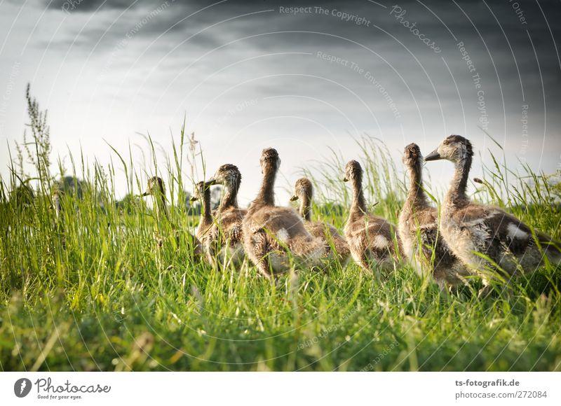 Gänsemarschnellergehndavorne? Natur grün Sommer Wolken Tier Freude Tierjunges Frühling Gras natürlich Wege & Pfade grau Vogel Wildtier Tiergruppe Schwarm