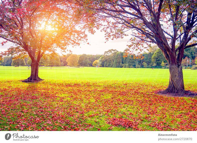 Sonnenuntergang im Herbst schön Umwelt Natur Landschaft Pflanze Himmel Baum Blatt Park Wald frisch hell natürlich braun gelb gold rot Farbe Hintergrund