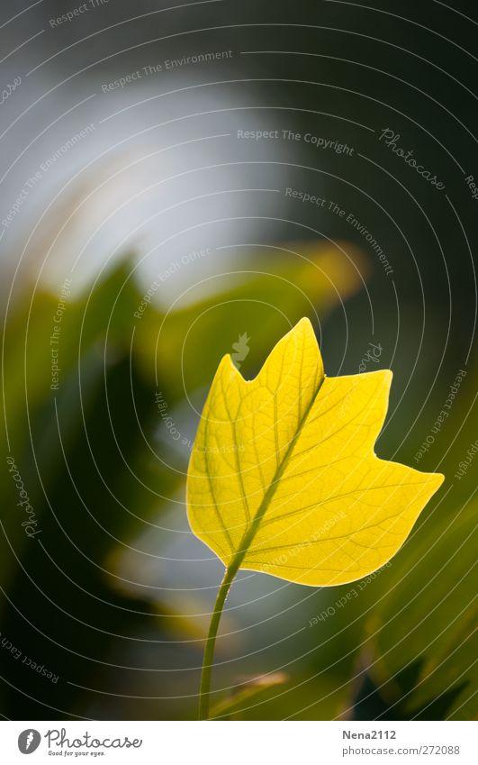 Sommerliches Herbstgefühl Natur Baum Pflanze Blatt gelb Frühling Park Schönes Wetter Herbstlaub herbstlich Herbstfärbung Frühlingsgefühle Lichteinfall