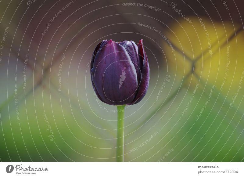 Alles Gute für blümchen36 Umwelt Natur Pflanze Frühling Schönes Wetter Blume Tulpe Blüte Grünpflanze Wildpflanze Garten dünn authentisch einfach hoch lang wild