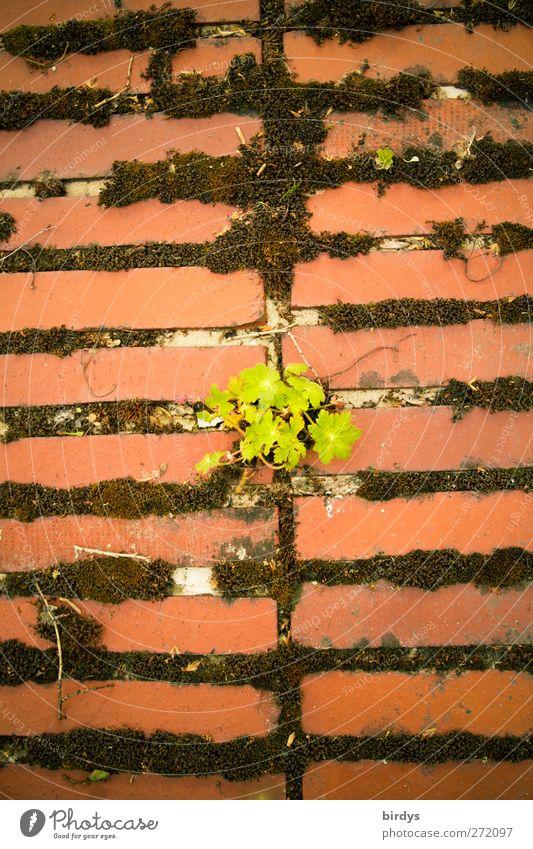 Mauerblümchen Frühling Sommer Pflanze Moos Wand Wachstum alt grün rot Optimismus Gelassenheit Hoffnung Überleben Vergänglichkeit Wandel & Veränderung