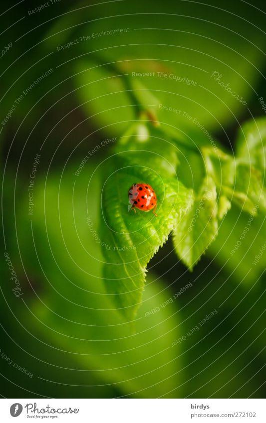 Glücksbringer im Paradies Schönes Wetter Pflanze Blatt Ast Marienkäfer 1 Tier krabbeln Freundlichkeit frisch positiv schön grün rot ästhetisch Idylle Natur