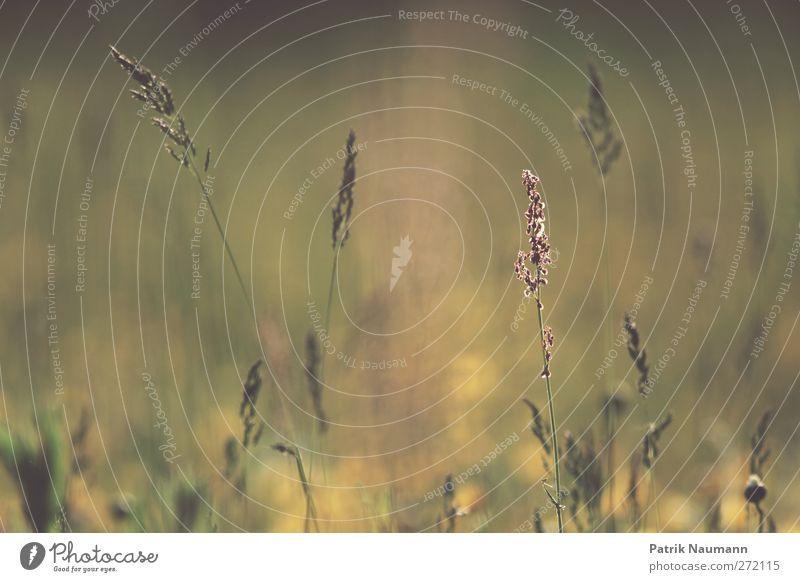 summer silence Natur grün schön Pflanze Sommer Tier Erholung Umwelt Wiese Wärme Gras träumen gold glänzend natürlich Wachstum