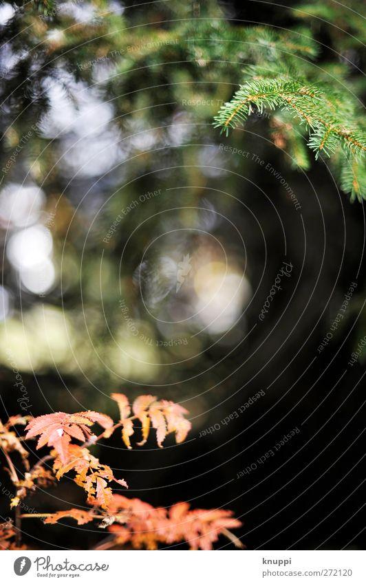 rot-grün Umwelt Natur Pflanze Luft Sonne Sonnenlicht Sommer Herbst Schönes Wetter Baum Sträucher Blatt Wildpflanze Wald alt verblüht dehydrieren trocken schwarz