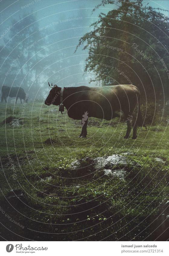 braune Kuh auf dem Bauernhof im Berg Hörner Porträt Tier wild Kopf Auge Ohren Behaarung Natur niedlich Beautyfotografie elegant wildes Leben ländlich Wiese