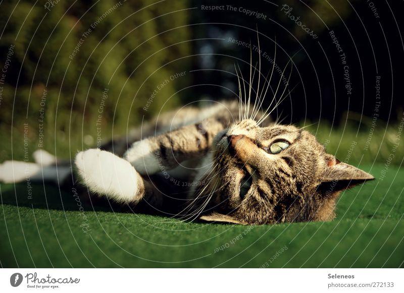 komm, kraul mich Katze Natur schön Pflanze Sonne Sommer Tier Umwelt Wiese Wärme Frühling Garten Park liegen Schönes Wetter weich