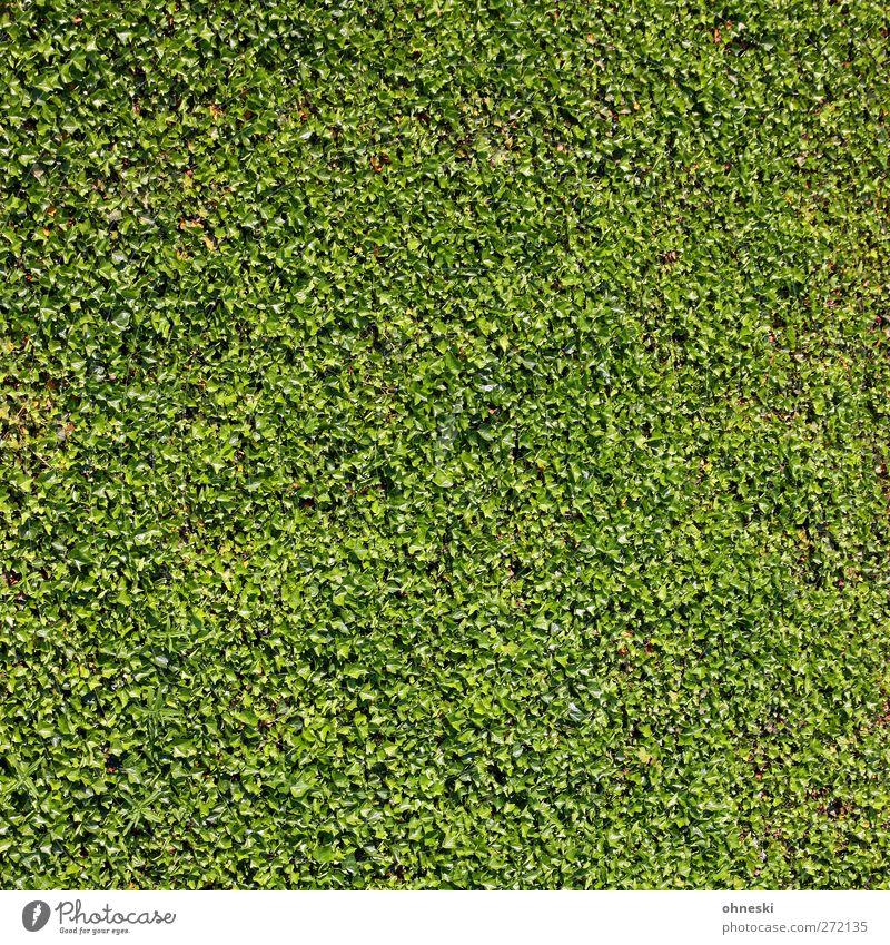 Grün Pflanze Blatt Grünpflanze Bodendecker Hecke Garten grün Hoffnung Leben Farbfoto Außenaufnahme abstrakt Muster Strukturen & Formen Menschenleer