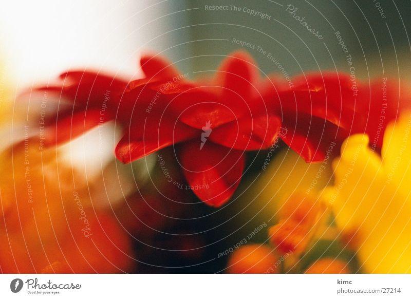 Gerbera - weich & geschmeidig Pflanze rot gelb Blüte orange rund Blumenstrauß Gerbera