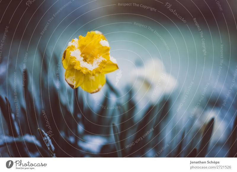 Frühlingserwachen Blume wächst aus dem Schnee Erholung Winter Garten Eis Frost Blüte Wachstum kalt gelb April Blühend Frühlingsblume Frühlingstag aufwachen