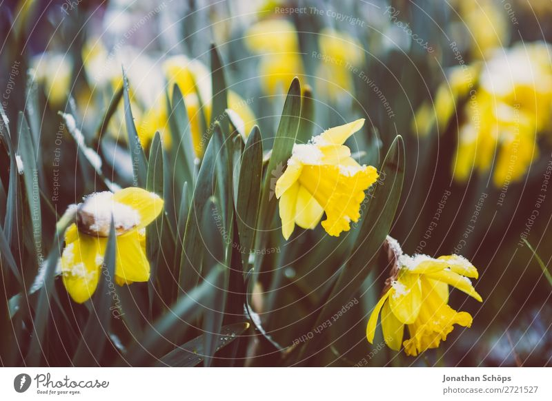 Narzissen mit Resten vom Schnee blau Blume Winter gelb Blüte Frühling kalt Garten Eis Wachstum Blühend Ostern Frost April Thüringen