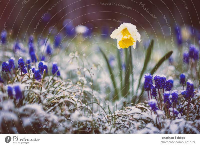 Narzisse im Schnee zwischen Winter und Frühling blau Blume Erholung gelb Blüte kalt Garten Eis Wachstum Blühend Ostern violett Frost