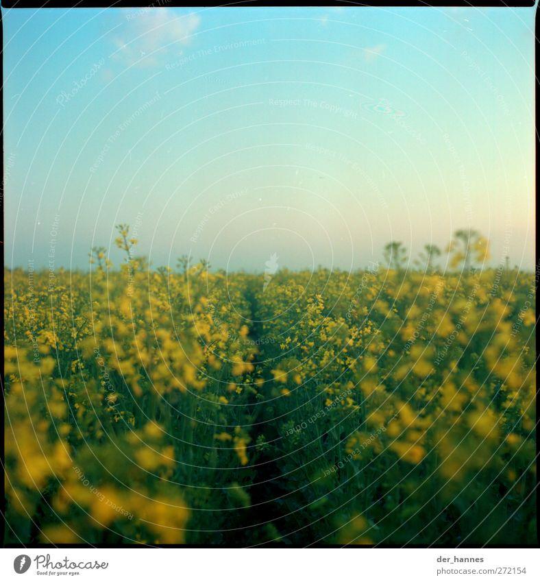 raps Umwelt Sommer Schönes Wetter Pflanze Nutzpflanze Raps Rapsfeld Feld schön gelb grün Biodiesel Farbfoto mehrfarbig Außenaufnahme Detailaufnahme Menschenleer