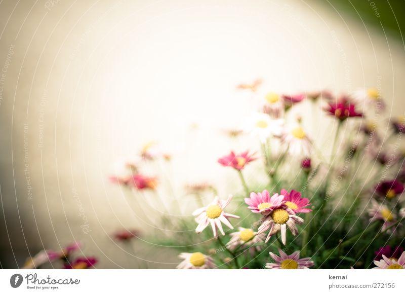 AST5 | Margerite Umwelt Natur Pflanze Sonnenlicht Sommer Schönes Wetter Blume Sträucher Blatt Blüte Margeritenbusch Garten Park Blühend Wachstum rosa weiß